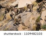 baboons in the wild | Shutterstock . vector #1109482103
