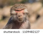 baboons in the wild | Shutterstock . vector #1109482127