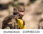 baboons in the wild | Shutterstock . vector #1109482133