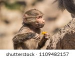 baboons in the wild | Shutterstock . vector #1109482157