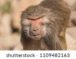 baboons in the wild | Shutterstock . vector #1109482163