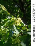 Small photo of Gentle flowers of linden tree among lush bright greenery under the sunlight allow us to feel harmony and pleasure in the soul.