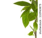 border branch of avocado tree...   Shutterstock . vector #110963873