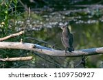 a juvenile common grackle... | Shutterstock . vector #1109750927