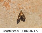 the amah moth at rest in the... | Shutterstock . vector #1109807177