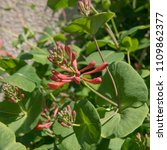 Small photo of Honeysuckle (Lonicera x brownii 'Dropmore Scarlet') in a Country Cottage Garden in Rural Devon, England, UK