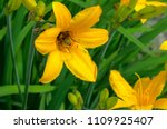 bumblebee collects nectar on a  ... | Shutterstock . vector #1109925407