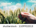 farmer controlling wheat crop... | Shutterstock . vector #1109932013