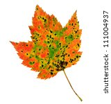 Small photo of A colorful fall Red Maple leaf (Acer rubrum) isolated on a white background.
