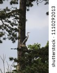 Small photo of Heron huge bird trying to hide in disguise against a tall tree massive wing span long neck