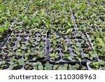 aquatic plants  echinodorus ... | Shutterstock . vector #1110308963
