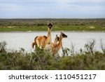 guanaco's in patagonia | Shutterstock . vector #1110451217