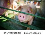 hog waiting feed. pig indoor on ... | Shutterstock . vector #1110460193