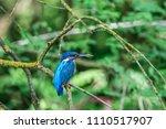 kingfisher  alcedo atthis  in... | Shutterstock . vector #1110517907