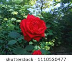 Stock photo red roses in the sun flowering roses in the park empty for the designer holiday bouquet for the 1110530477