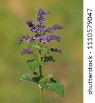 Small photo of Salvia verticillata, known as the lilac sage or whorled clary