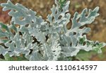 silvery green gray foliage of... | Shutterstock . vector #1110614597