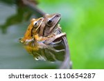 tree frog mating from thailand | Shutterstock . vector #1110654287