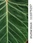 Small photo of Alocasia Macrorrhiza, Elephant leaf detail