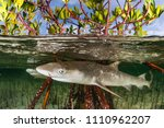 two juvenile lemon sharks are... | Shutterstock . vector #1110962207