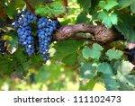 italian vineyard | Shutterstock . vector #111102473