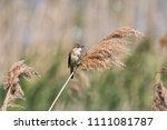 great reed warbler singing on... | Shutterstock . vector #1111081787