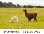 white and brown alpaca over... | Shutterstock . vector #1111082927