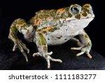 italian green toad  bufotes... | Shutterstock . vector #1111183277