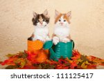Maine Coon Kittens Sitting In...