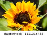 sunflower  helianthus  a large... | Shutterstock . vector #1111316453