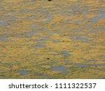 algal bloom on freshwater lake   Shutterstock . vector #1111322537