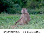 young baboon picking flowers ... | Shutterstock . vector #1111332353