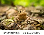 macro grumpy eastern american... | Shutterstock . vector #1111399397