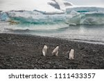 adelie penguin  juvenile on ice ... | Shutterstock . vector #1111433357