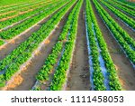 peanuts in the field  lush... | Shutterstock . vector #1111458053