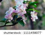 chinese flowering crab apple in ... | Shutterstock . vector #1111458077