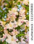 chinese flowering crab apple in ... | Shutterstock . vector #1111458083