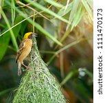 nature of wildlife   weaver... | Shutterstock . vector #1111470173