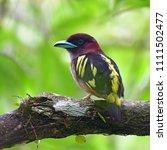 beautiful bird  banded...   Shutterstock . vector #1111502477