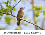 the nightingale sings  having... | Shutterstock . vector #1111582943