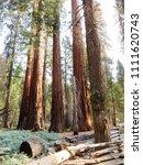 mariposa grove of giant... | Shutterstock . vector #1111620743