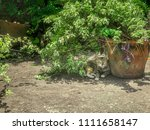 cat in the shadow  watchful and ... | Shutterstock . vector #1111658147