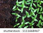 young green seedlings plants... | Shutterstock . vector #1111668467