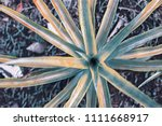 faded pineapple plant top view. ... | Shutterstock . vector #1111668917