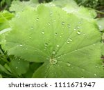 beautiful green leaves. water... | Shutterstock . vector #1111671947