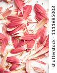 gerbera flower petal on grey... | Shutterstock . vector #1111685003