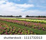 close up colorful petunia... | Shutterstock . vector #1111732013