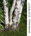 Small photo of Four Birch clump