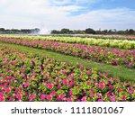close up colorful petunia... | Shutterstock . vector #1111801067