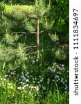 Small photo of Young pine tree and flowering stellaria in the sunny peaceful nook. Summer is a wonderful time to revive own life energy gaining it from the nature.